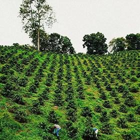 piantagione caffè della Colombia