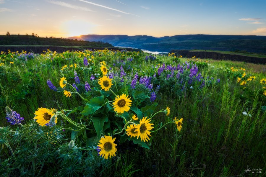 wildflowers columbia river gorge rowena crest william woodward