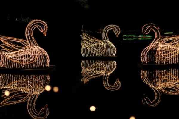 Three swans made of Christmas lights sitting on a lake