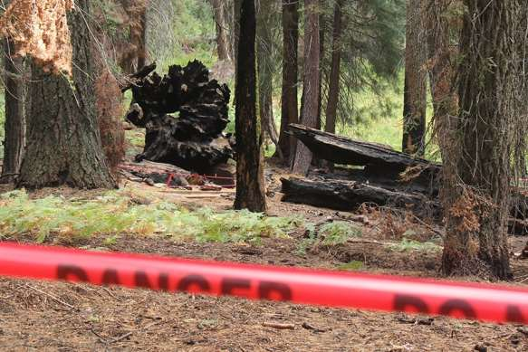 Burnt Sequoias