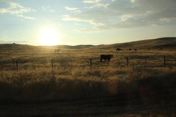 California sunrise with cows