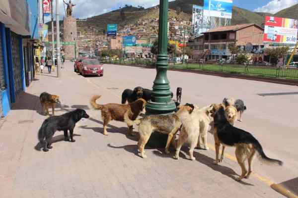 Pack of stray dogs in Cusco Peru
