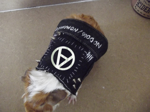 guinea-pig-punk-vest-circle-a