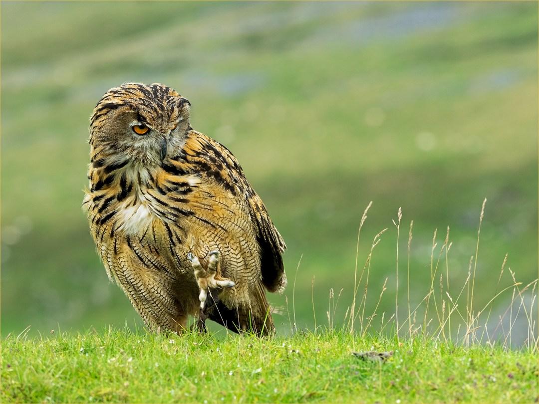 european-eagle-owl-cumbria
