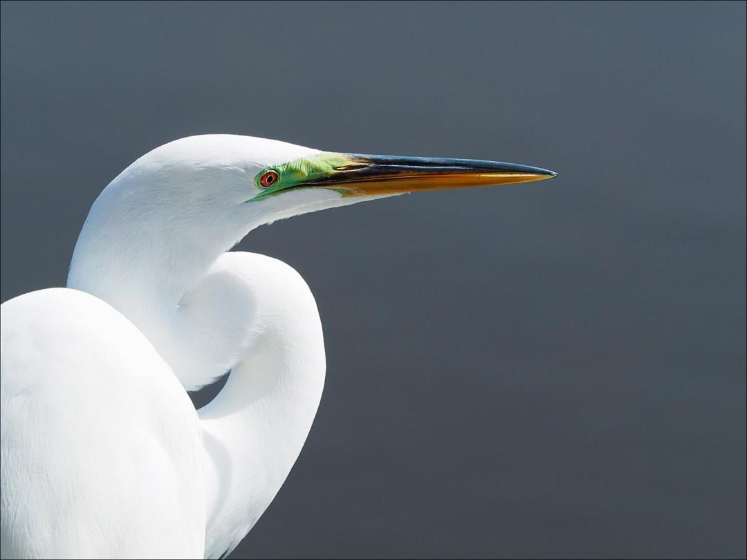 snowy-egret-florida