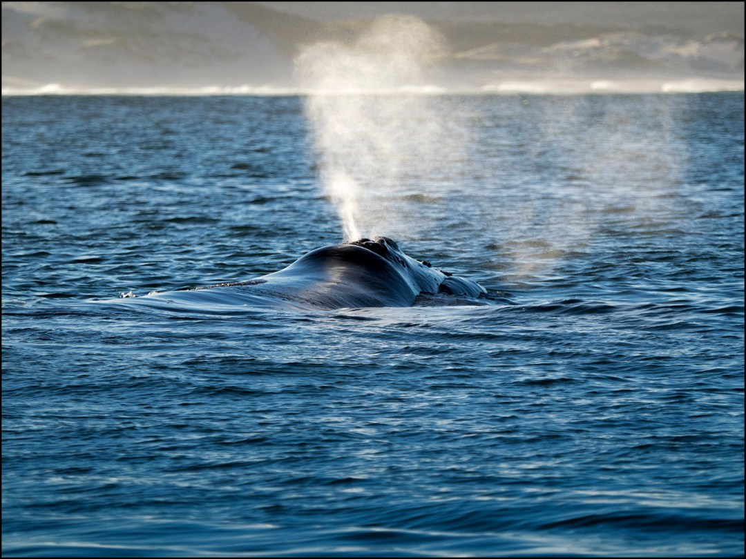 southern-right-whale-hermanus
