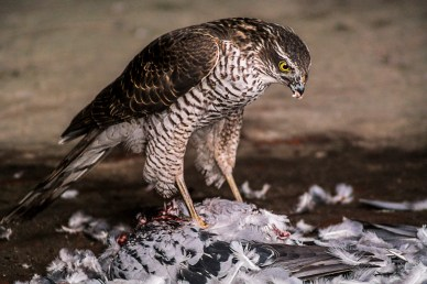 Alan Fowler - Female Sparrowhawk With Kill (2nd)