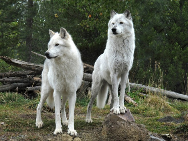 bear & wolf centre 013