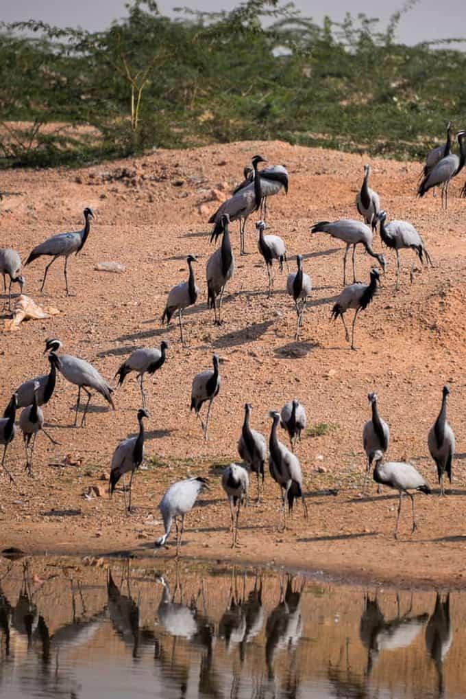 Kheechan Bird Sanctuary, Rajasthan