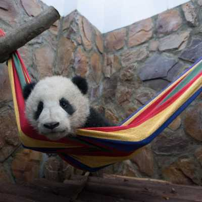 Win a 4-Pack of Tickets to see Pandas in IMAX