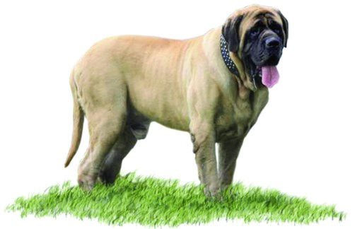 Mastiff puppies for sale in ohio