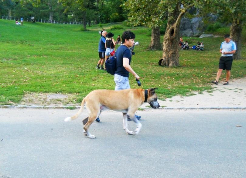 Dog walk Central Park