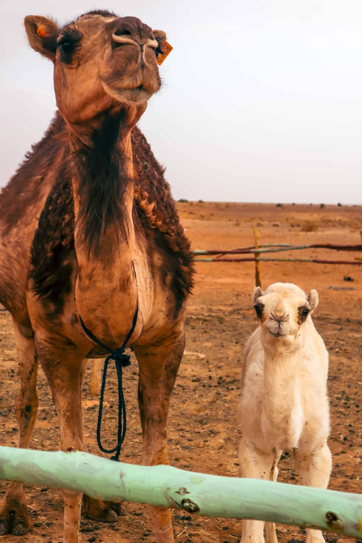 camels in morocco - 10-day morocco itinerary