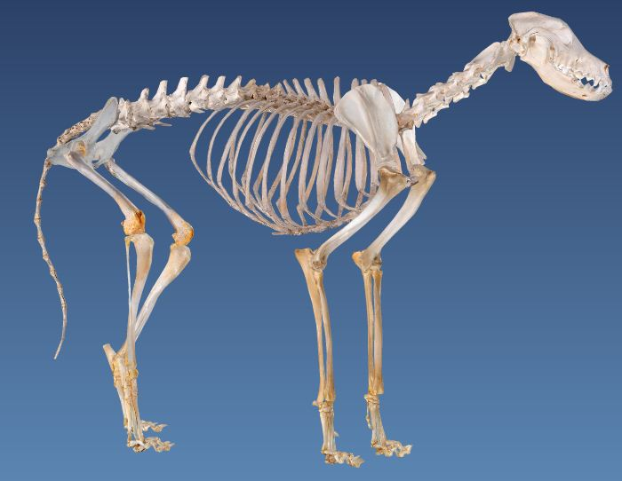 A 3d Dog Anatomy Model