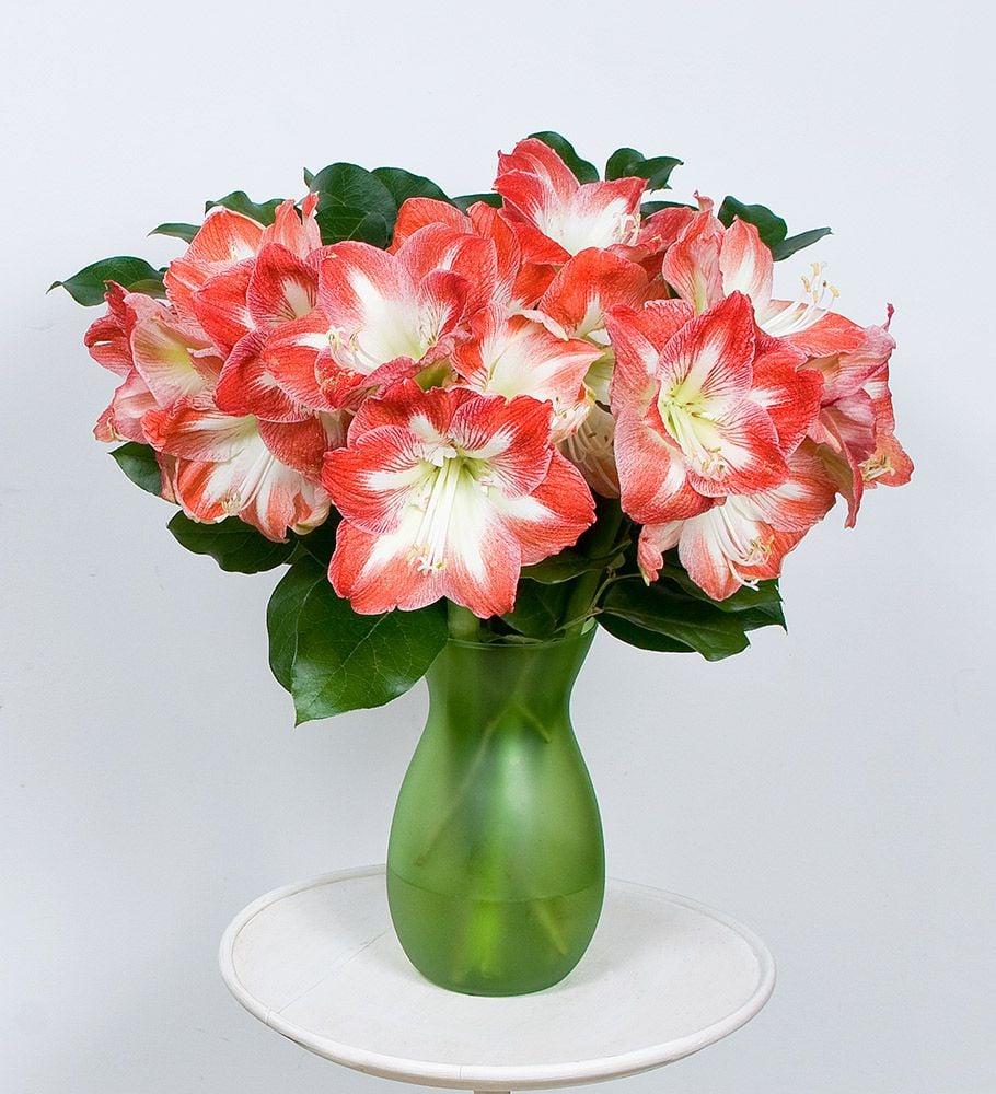 Bicolor Amaryllis Bouquet  White Flower Farm