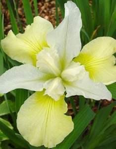 Iris sibirica  chartreuse bounty also white flower farm rh whiteflowerfarm