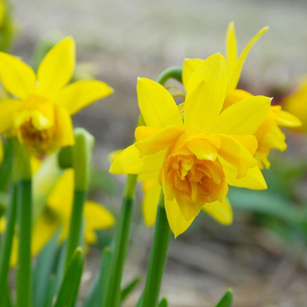 Narcissus Tte Boucle  White Flower Farm