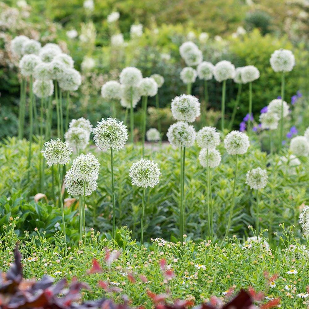 Fall Deer Wallpaper Allium Mount Everest White Flower Farm