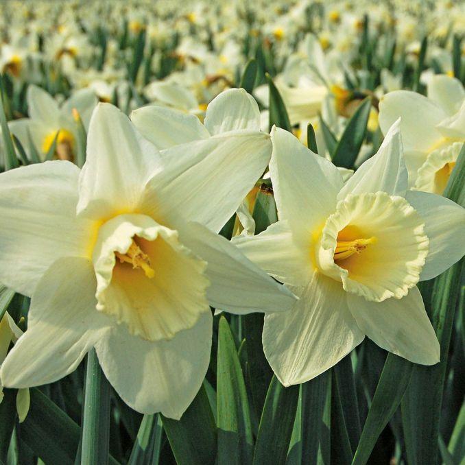 Spring Trumpet Daffodil Mix | White Flower Farm