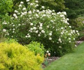 full sun flowering shrubs
