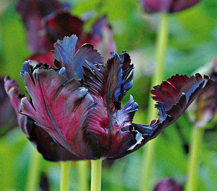 Tulip Black Parrot  White Flower Farm