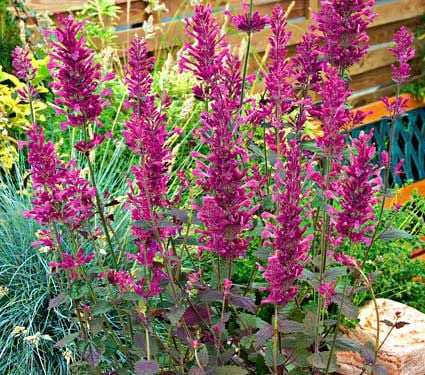 Agastache Bolero White Flower Farm