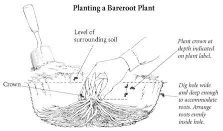 How to grow shrubs