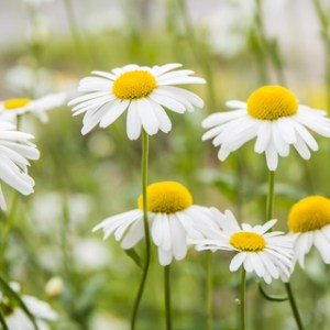 english chamomile essential oil 3