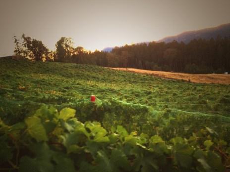 Whitetail Ridge Vineyard - Oregon Wine
