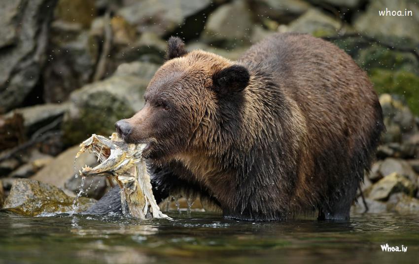 Cute Rabbit Wallpaper Bear Eat In The Water Hd Wallpaper