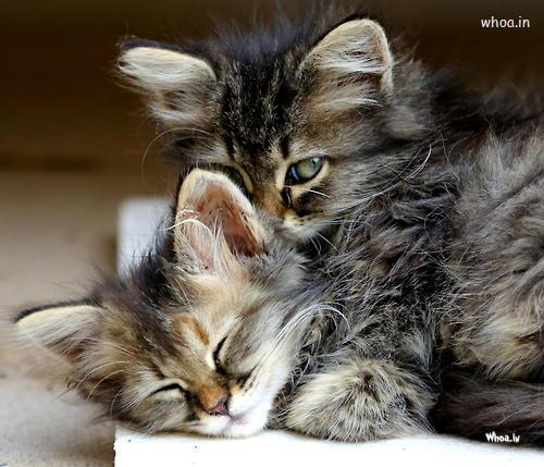 Cute Baby Kiss Wallpaper Crying Cat Imotional Wallpaper