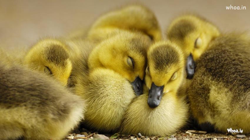 Cute Ducks In Water Wallpaper Baby Chiken Sleeping Hd Wallpaper