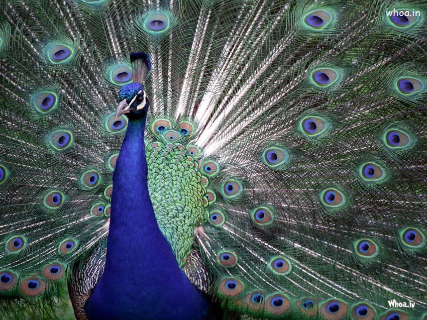 Buddha Quotes Hd Wallpapers Peacock Face Close Up Hd