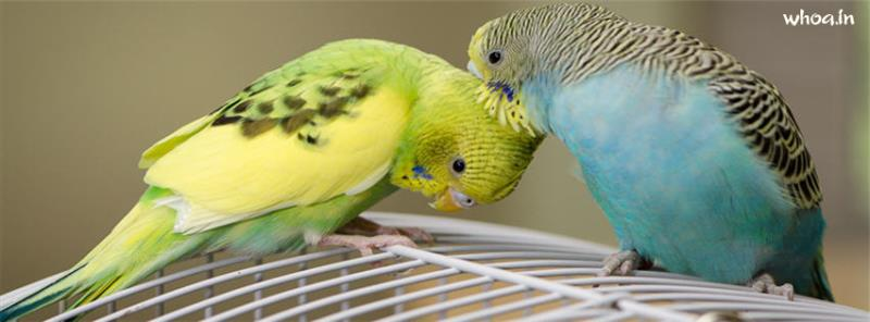 Cute Baby Love Couple Hd Wallpaper Budgie Bird Couple Facebook Cover 1