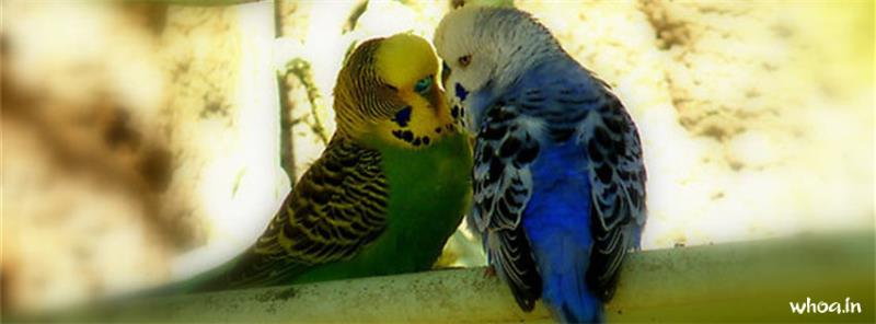 Cute Babies Wallpapers For Facebook Cover Photo Budgie Bird Couple Facebook Cover