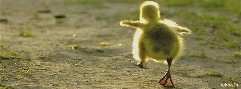 Happy Diwali 3d Wallpaper Cute Duck Facebook Cover 2