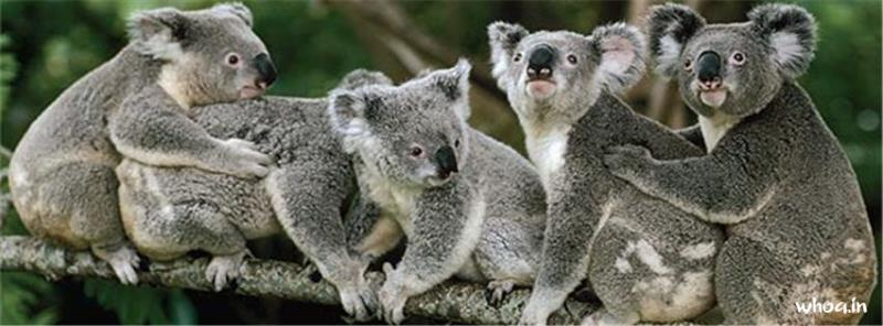 Cute Baby Facebook Wallpaper Koala 15 Facebook Cover Picture Size Images