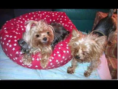 A Tribute to Lolita - a special little Yorkie who died today. 1