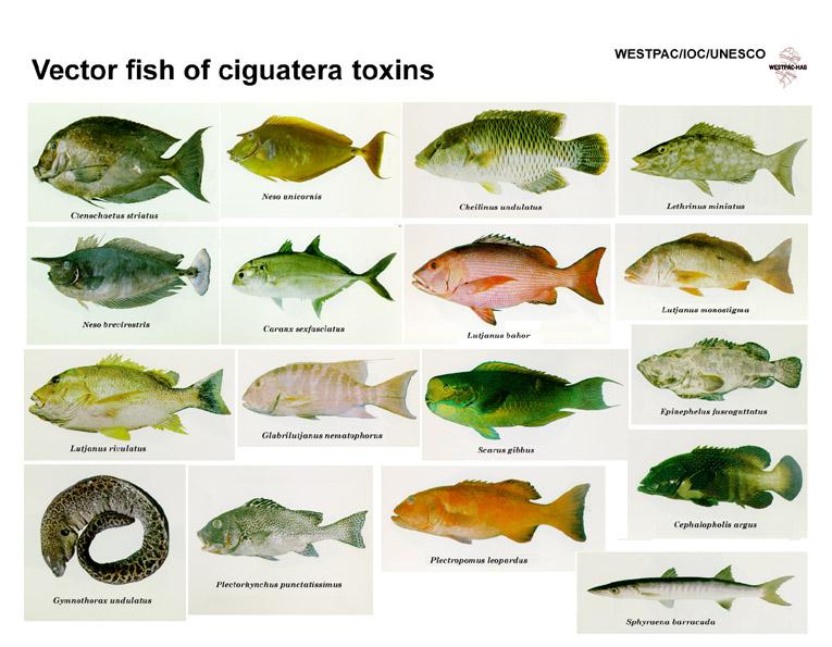 Pescados que provocan ciguatera. Sushi