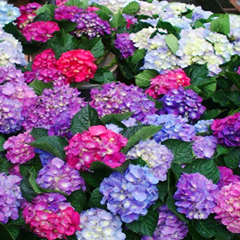 "The image ""https://i0.wp.com/www.wholeblossoms.com/img/productos/Assorted-Hydrangeas-elite-w.jpg"" cannot be displayed, because it contains errors."