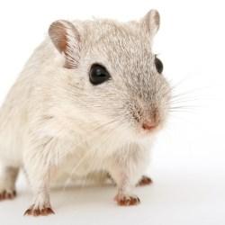 Rat Rodent Hair