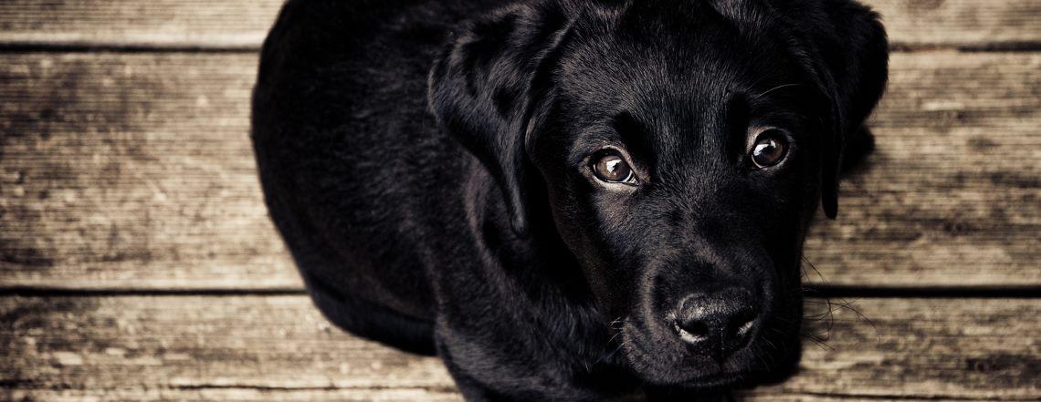 lab-puppy2