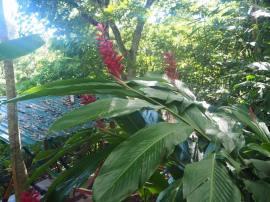 pflanzen_in_roatan_cover_whudat
