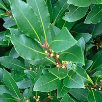Photo of Laurel/Bay Leaves by Andrew Fogg: http://www.flickr.com/photos/ndrwfgg/67881442/