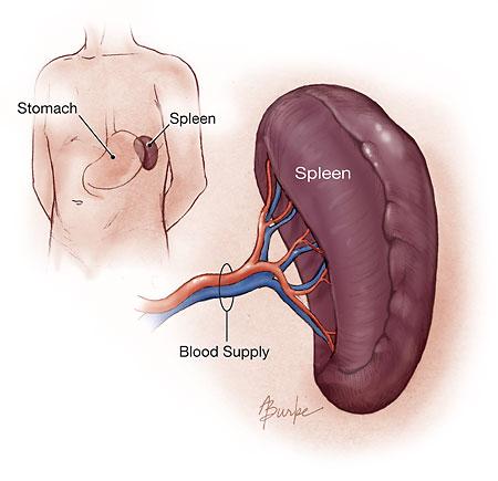 https://i0.wp.com/www.whydoes.org/wp-content/uploads/2009/09/Spleen.jpg