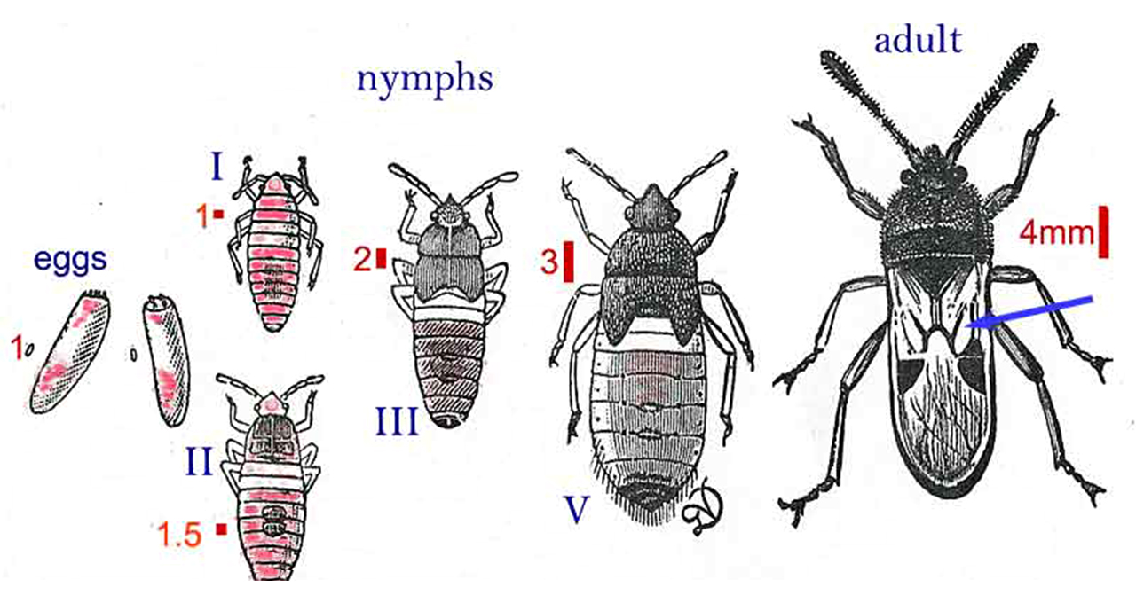 chinch bug lawn damagebug diagram 12 [ 1280 x 680 Pixel ]