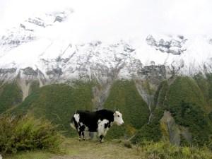 Yak in Manang, Annapurna region