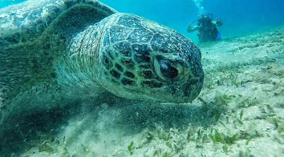 A sea turtle spotted in Marsa Alam by Youssef el Rifai