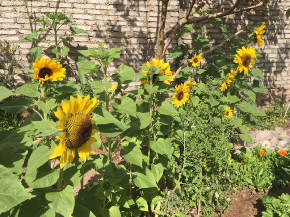 Sunflowers blooming at the farm