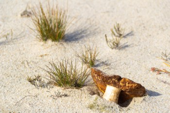 Mushroom in the Sand